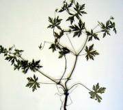 Герань сибирская — Geranium sibiricum L.