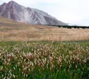 Горец живородящий — Polygonum viviparum L.