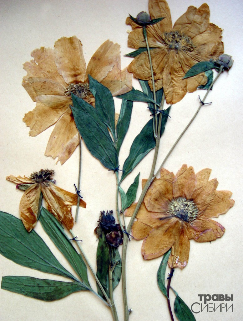 Фото цветка гербарий